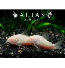 Corydoras Paleatus albin