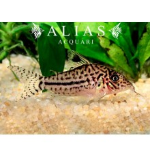 Corydoras leopardus C102
