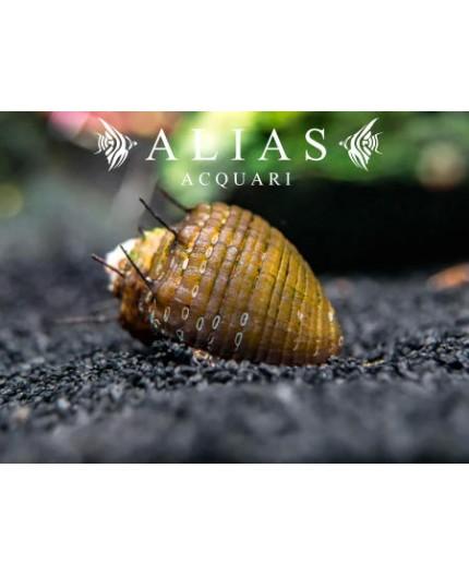 Neritina sp. hair snail