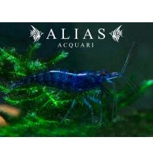 Topaz Blue Shrimp