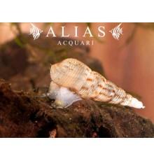 Melanoides tuberculata