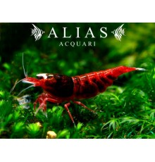 Taiwan Bee Red Ruby Shrimp