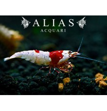 Hinomaru Crystal Red Shrimp