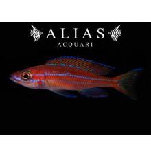 Paracyprichromis nigripinnis «Blue Neon»