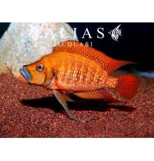 Altolamprologus compressiceps «Tanzania Red Fin»
