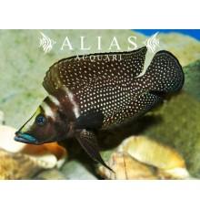 Altolamprologus calvus «Black Pectoral»