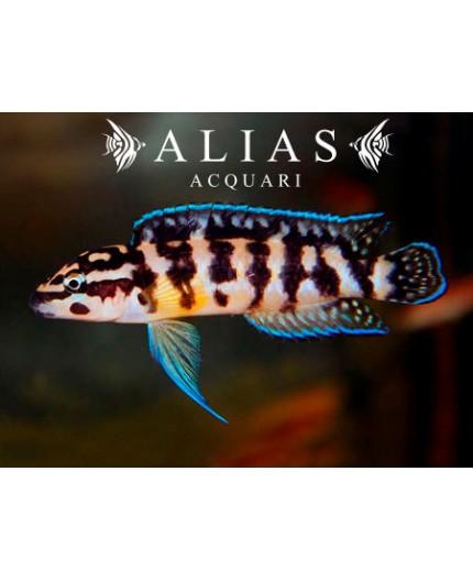 Julidochromis transcriptus «Gombi»