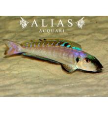 Enantiopus melanogenys «Kigoma»