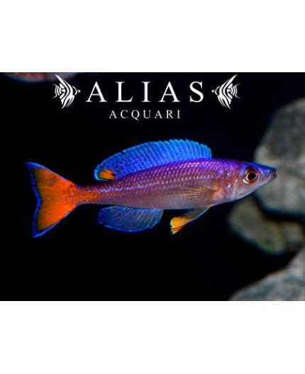 Cyprichromis leptosoma «Utinta»