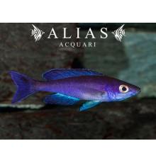 Cyprichromis leptosoma «Moba»