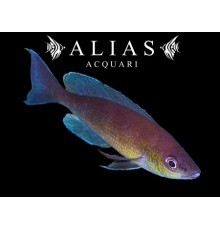 Cyprichromis leptosoma «Jumbo Turquoise Flame»