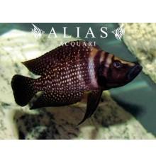 Altolamprologus calvus «Black Pearl»