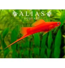 Xiphophorus helleri Ada Red