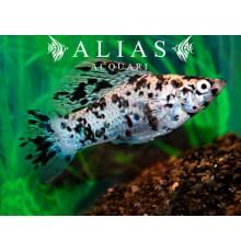 Poecilia velifera dalmatian