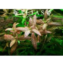 Hygrophila rosanervig