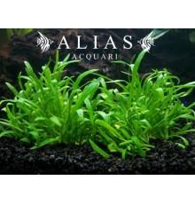 Lilaeopsis novae zelandiae