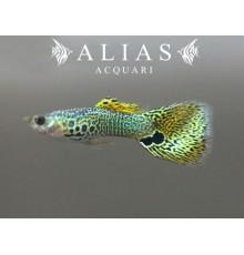 Guppy maschio Snake Skin Green Delta