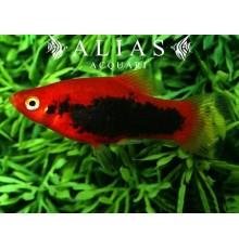 Xiphophorus maculatus red tuxedo