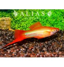 Xiphophorus helleri mary gold