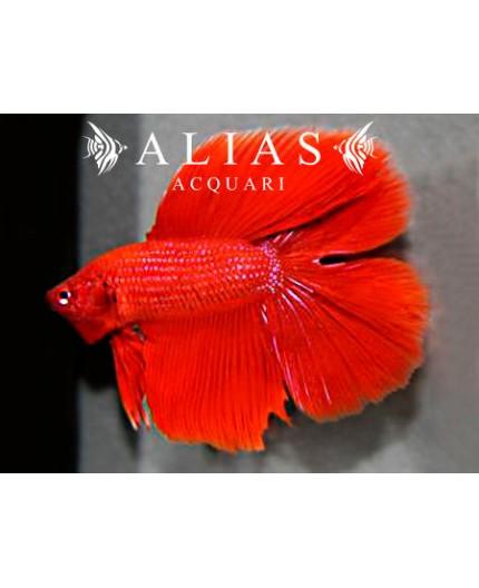 Betta splendens male Double Tail Red