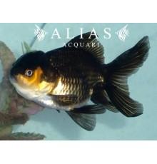 Carassius auratus black Oranda long fin
