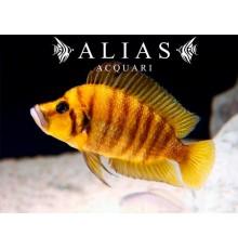 Altolamprologus compressiceps «Yellow Chaitika»