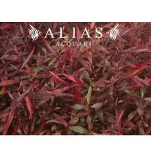 Hygrophila sp. Red