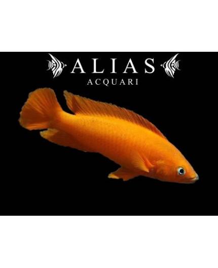 Neolamprologus leleupi «Uvira Super Orange»