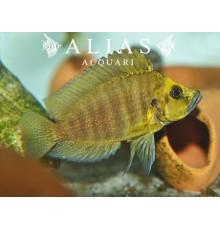 Altolamprologus compressiceps «Kantalamba Gold Head»