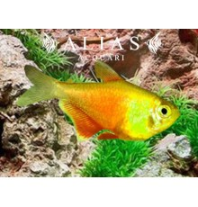 Hyphessobrycon Flammeus yellow