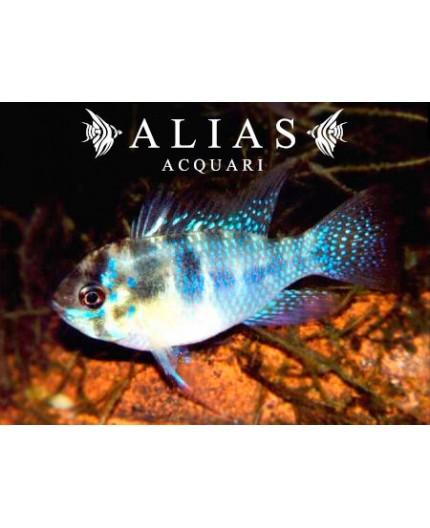 Mikrogeophagus ramirezi «Blue Brilliant»