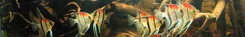 Pesci scalari (Pterophyllum scalare)