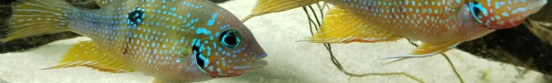 Ciclidi sud america e pesci sudamericani