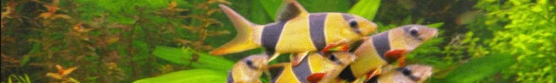 Botia e mangiatori di alghe