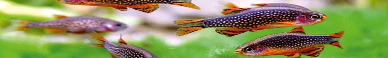 Pesci Danio, rasbore e tanichtys