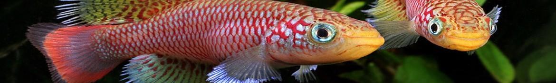 Killifish pesci acquario dolce
