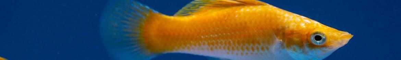 Molly pesci d'acqua dolce