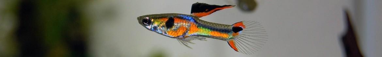 Pesci Endler  o poecilia wingei