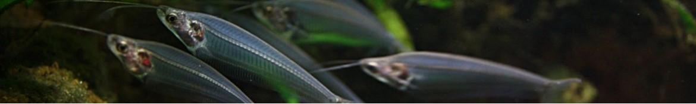 Pesci gatto asiatici